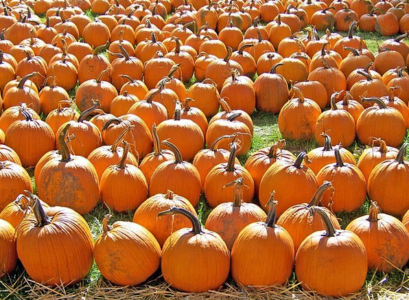 Pumpkins Drink Cover Food Autumn Patch Field Fall