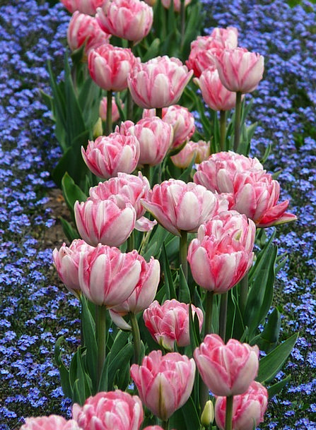 Tulips Landscapes Divan Nature Pink Flushed Bed Fo