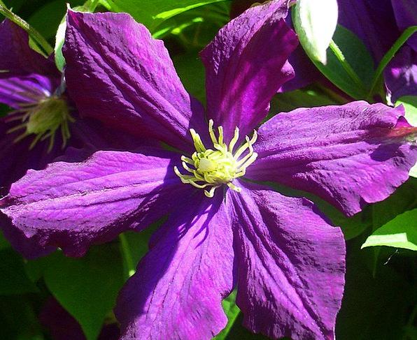 Clematis Textures Floret Backgrounds Violet Mauve