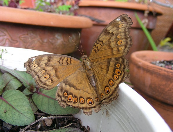 Butterfly Nerves Australian Butterfly Butterflies
