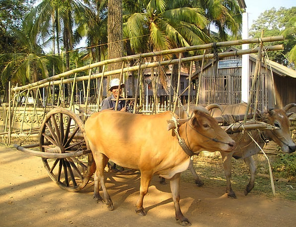 Cambodia Traffic Steers Transportation Ox Steer Ox