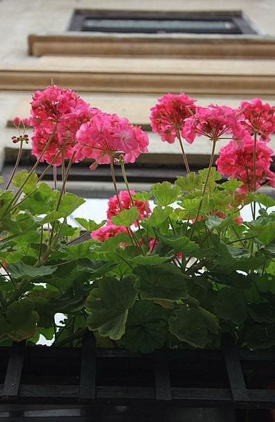 Flower Floret Gap Dum Window Pink Flushed