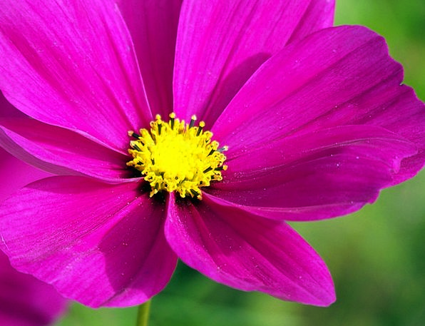 Pink Flushed Universe Flowers Plants Cosmos Blosso