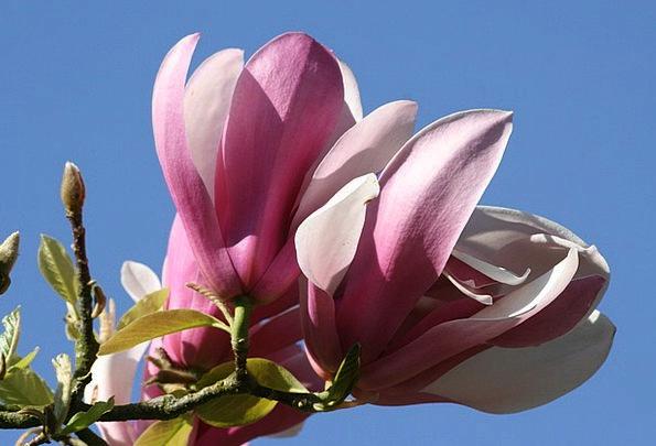 Magnolia Sapling Flower Floret Tree Pink Flushed