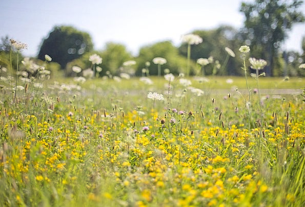 Wildflowers Weeds Creamy Field Arena Yellow Flower