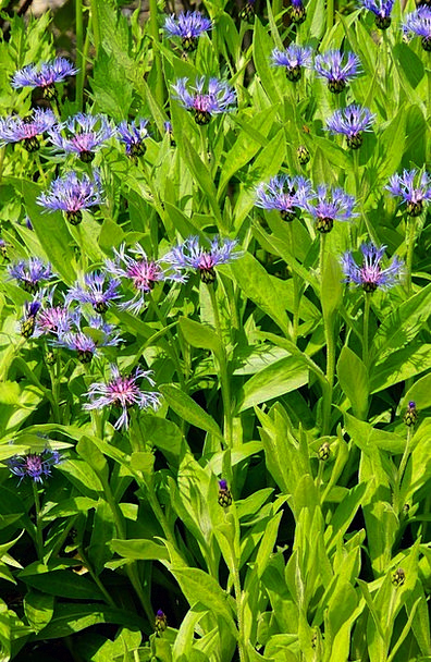Cornflower Plot Blue Flowers Flowerbed Garden
