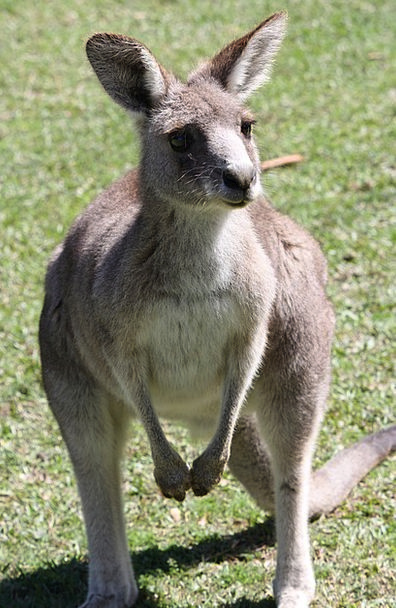 Kangaroo Jerk Landscapes Nature Mar Deface Austral