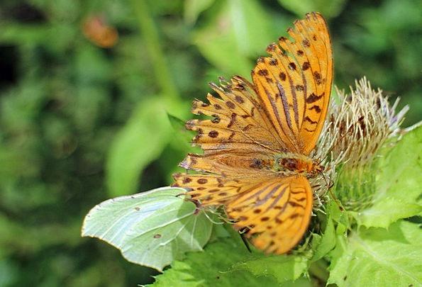 Butterfly Carroty Butterflies Nerves Orange Wing A