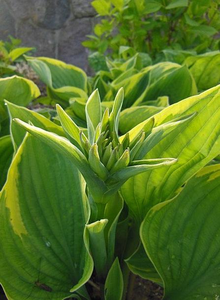Funkia Budding Promising Hosta Yellow Perennials G