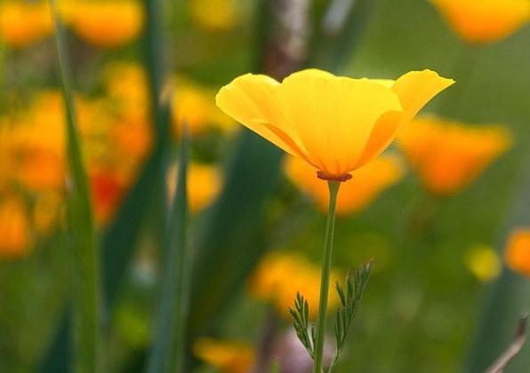 Iceland Poppy Landscapes Nature Flower Floret Popp