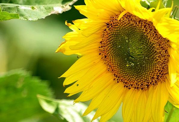 Sunflower Liquid Pollen Nectar Collecting Gatherin