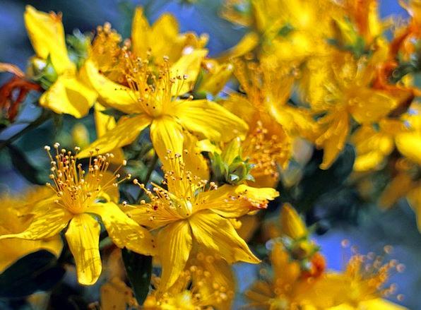 Flower Floret Hypericum Perforatum St John'S Wort