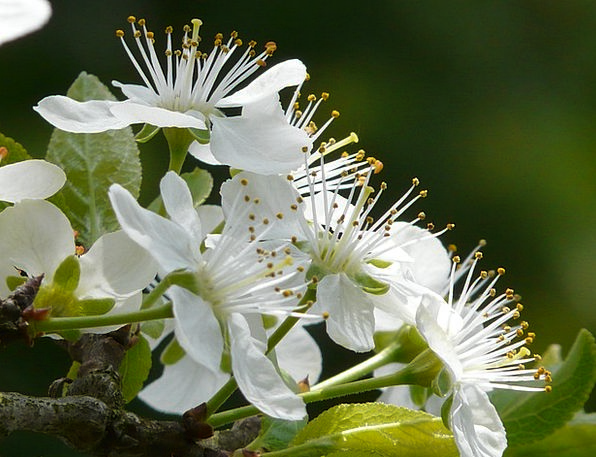 Plum Blossom Desirable Flower Floret Plum Tree Sap