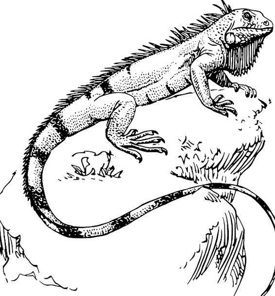Lizard Iguana Reptile Free Vector Graphics Cliff P