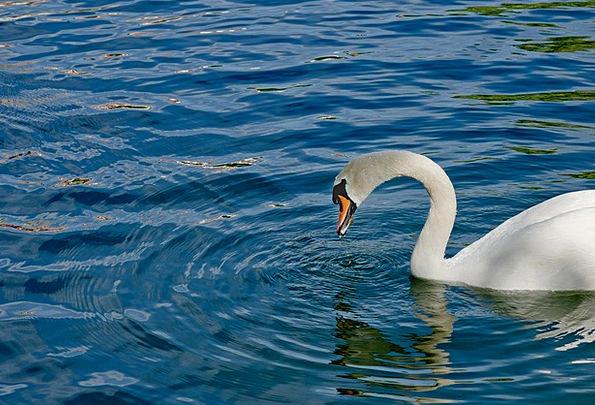 Swan Wander Aquatic See Understand Water Waters Wa