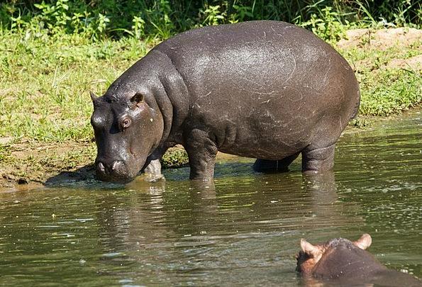 Hippo Weight-Loss Hippopotamus Animal Physical Wil