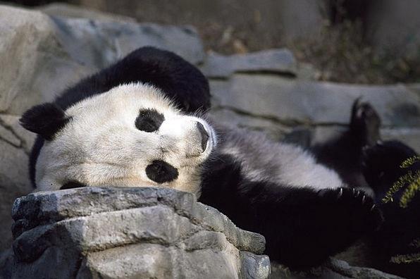 Panda Tolerate Zoo Menagerie Bear Black Cute Attra