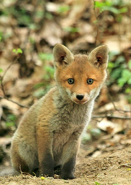 Fox Deceive Physical Forest Woodland Animal Nature