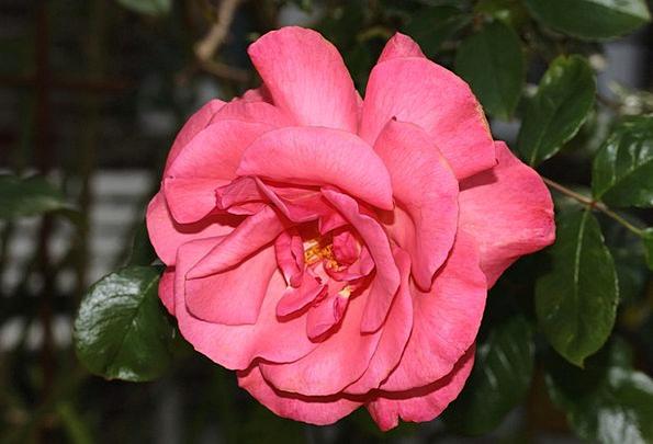 Wild Rose Floret Pink-Red Flower Sweet Sugary Frag