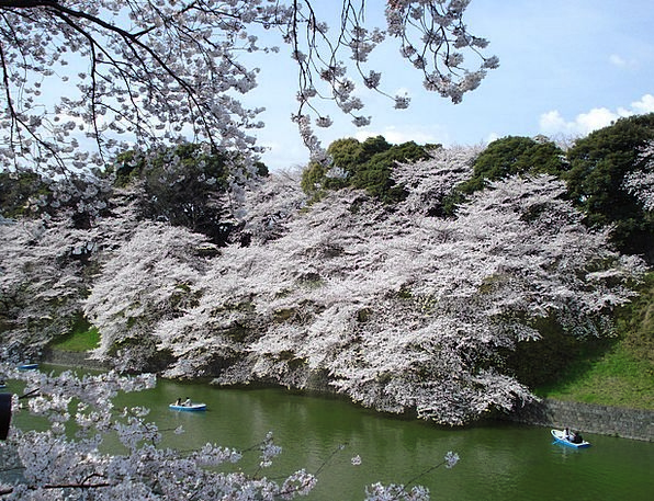 Cherry Blossoms Landscapes Plants Nature Spring Co