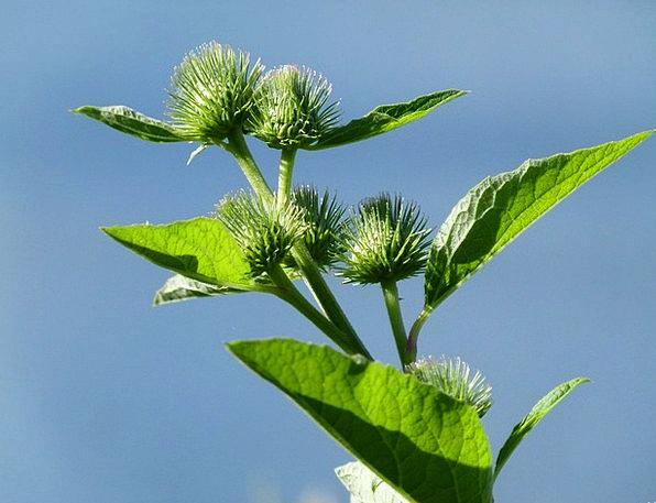 Arctium Landscapes Nature Wildflower Weed Burdock
