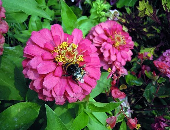 Flower Bed Hummel Zinnias Bloom Flower Flowers Pla