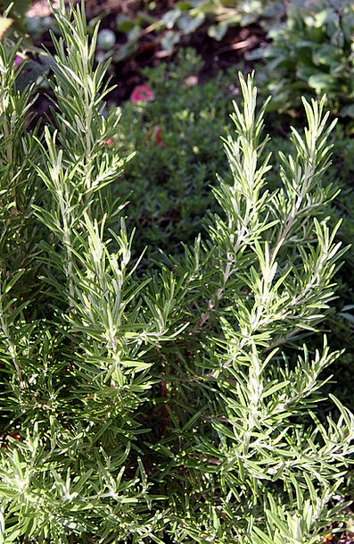 Rosemary Basil Landscapes Vegetable Nature Spice I