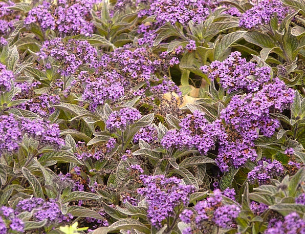 Vanilla Flower Floret Violet Mauve Flower Heliotro