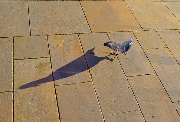 Pigeon Mark Fowl Shade Shadow Bird Animal Physical