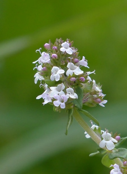 Real Thyme Basil Kitchen Herb Herb Medicinal Plant