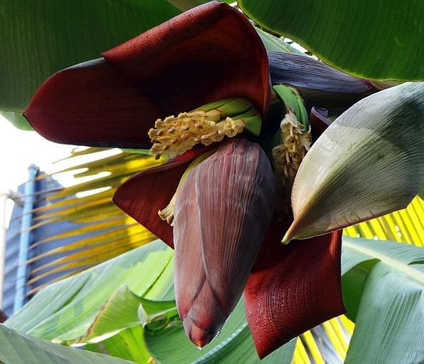Banana Blossom Banana Banana Tree Flowers Plants Fruits India