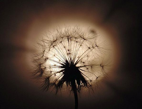 Dandelion Fleecy Light Bright Fluffy
