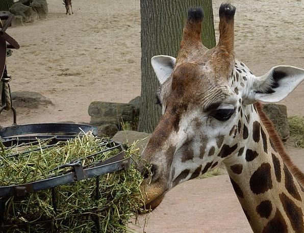 Giraffe Physical Feeding Nourishing Animal Close N