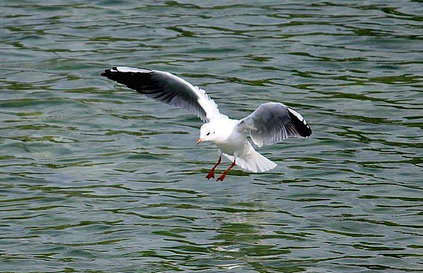 Gull Aeronautical Fly Hover Flight Landing Mooring