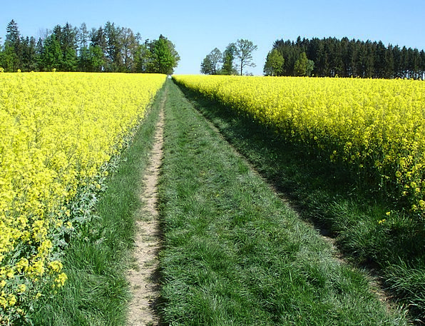 Meadow Landscapes Nature Field Of Rapeseeds Oilsee