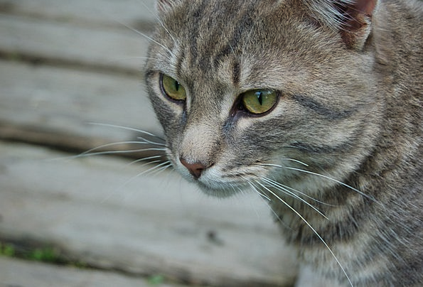 Cat Feline Domesticated View Opinion Pet