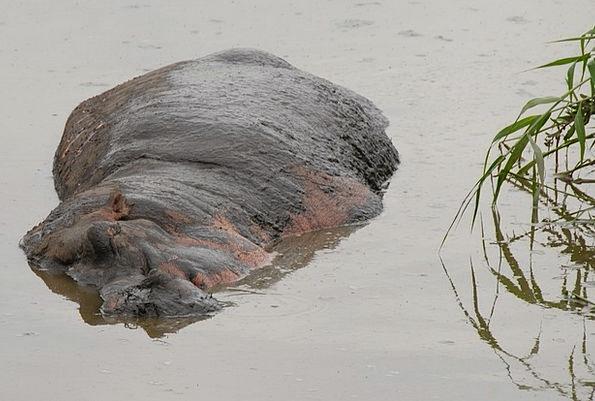 Hippopotamus Serengeti Hippo Fat Africa Big Tanzan