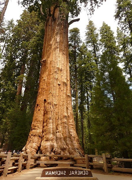Tree Sapling Wood Timber Sequoia Bark Bay Huge Tri