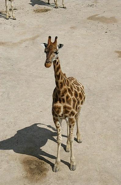 Giraffe Savanna Grassland Baby Giraffe