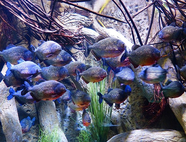 Piranhas Angle Aquarium Fish Bright Saw Tetra Pygo