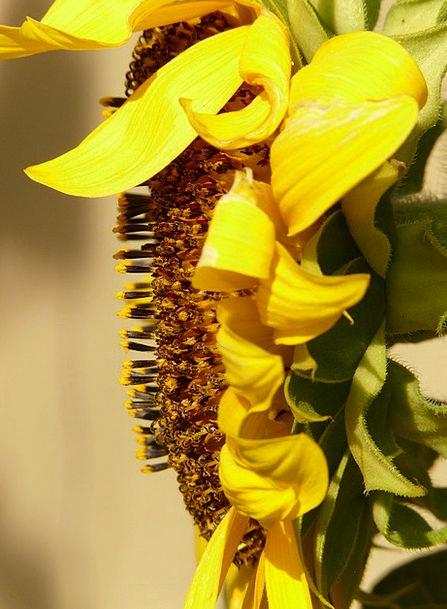 Sun Flower Landscapes Nature Flower Floret Heliant