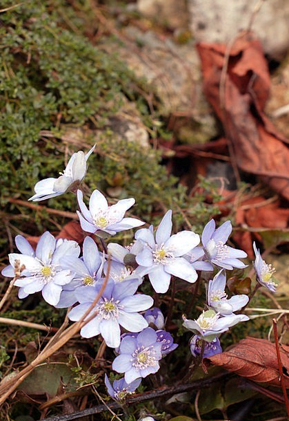 Blue Azure Plants Florae Flowers Spring Coil Early