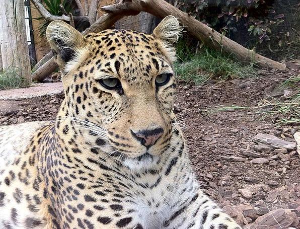 Leopard Wildlife Nature Big Cats Predator Marauder