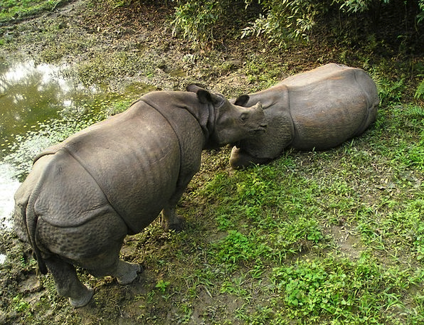 Rhino National Park Nepal Chitwan