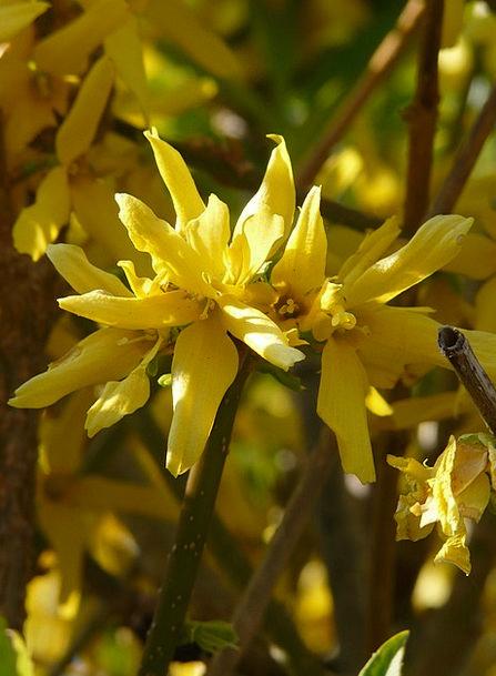 Forsythia Landscapes Nature Golden Bells Gold Lila