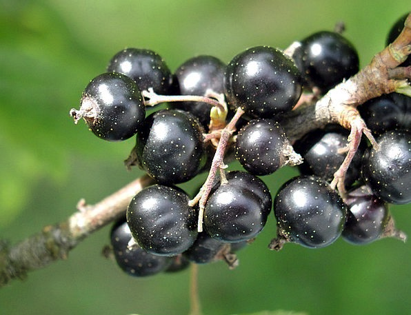 Spinarum Blackcurrant Carissa Blackcurrants Fruits