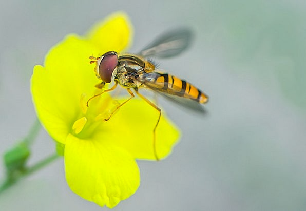 Hover Fly Bug Nature Countryside Insect Macro Inst