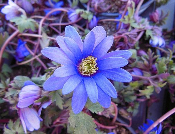 Plants Florae Landscapes Floret Nature Blue Anemon