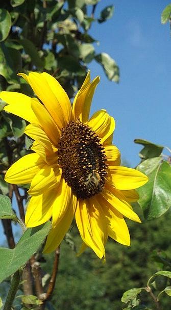 Sunflower Summer Straw-hat Bee