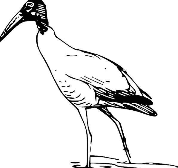 Bird Fowl Gumboot Avian Wader Ibis Free Vector Gra